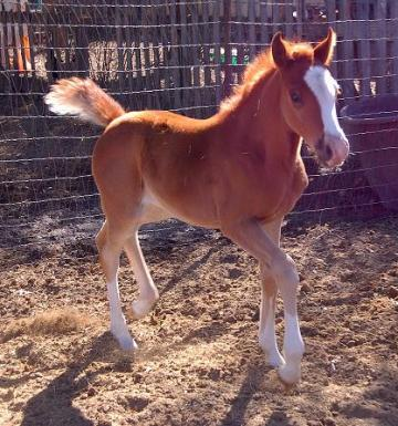 Gorgeous, Strong Arabian Filly