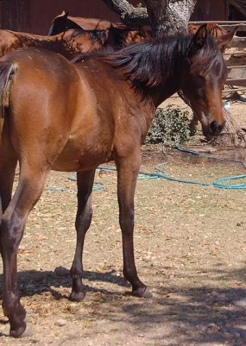 Beautiful Moving Filly. Heavily Black Bred