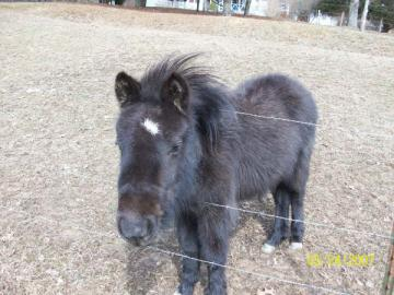 Gentlest Miniature Horse