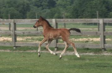 2008 Bay Andalusian Filly. The ONLY daughter of Fenix o