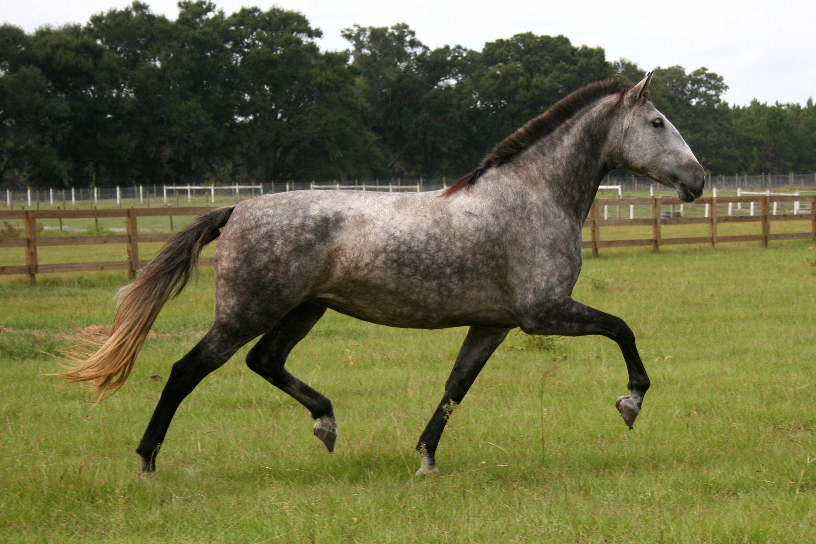 17.1hh PRE Revised Heterozygous mare Imported from Spai