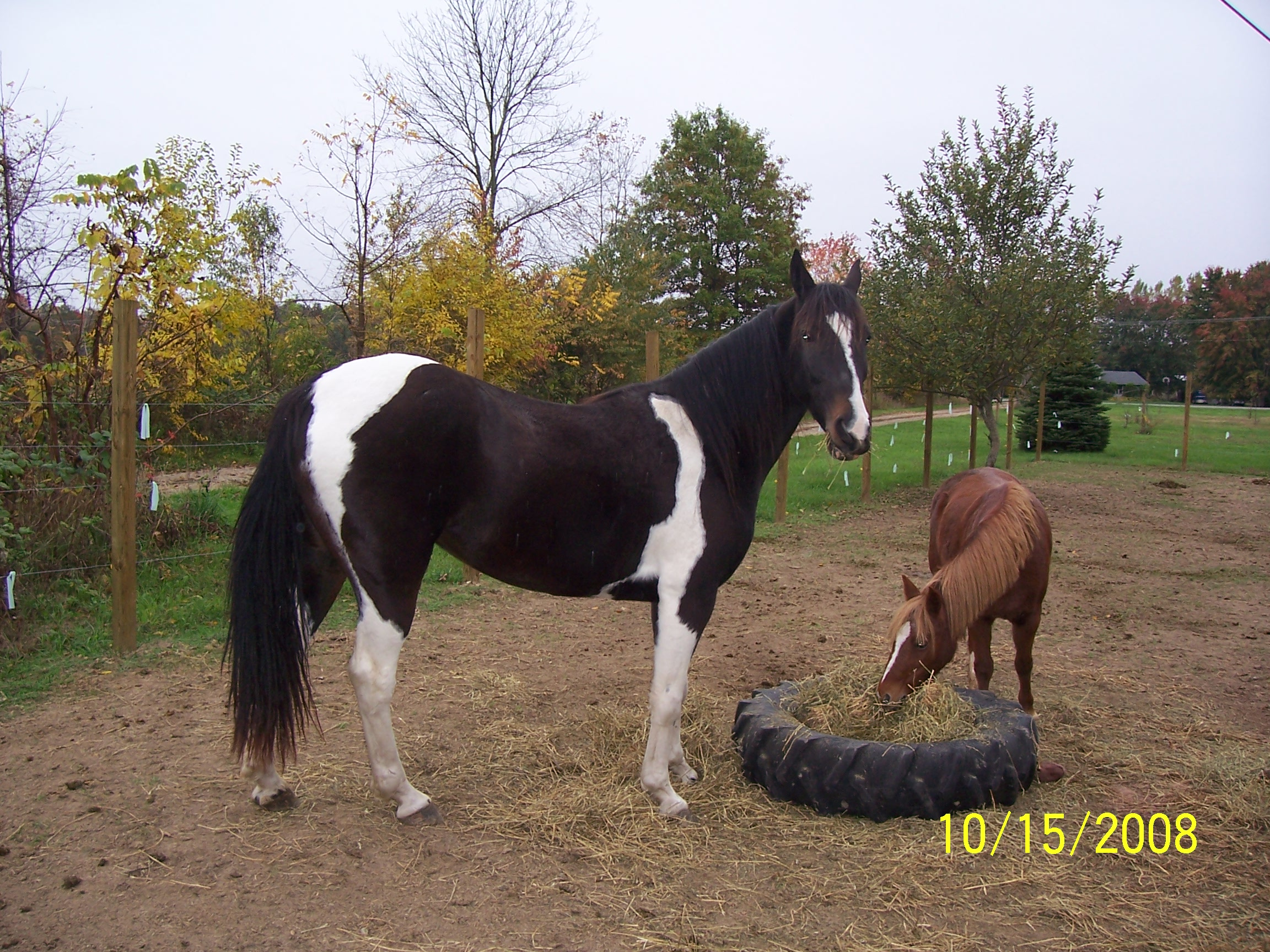 Dixie Ann Reg. Spotted Saddle Mare