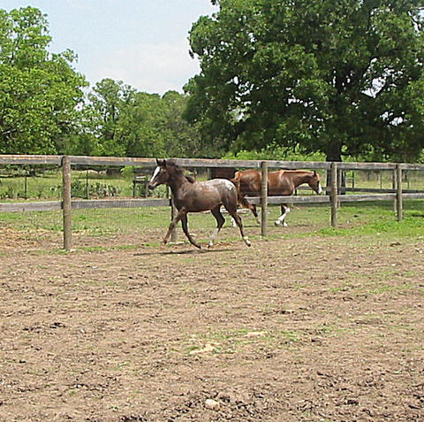 Fancy Ara-Appaloosa Sporthorse Prospect filly