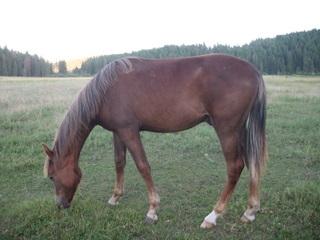 Gentle flaxen gelding - western or huntseat prospect