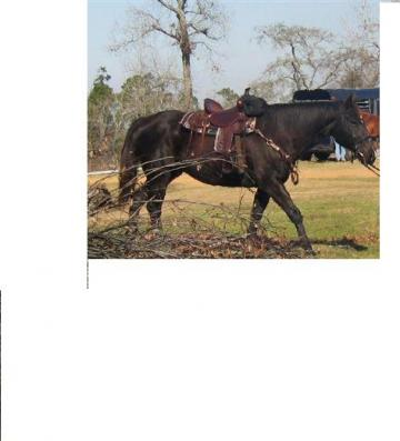 BIG BLACK STOUT GELDING