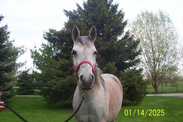 Nice Registered Arabian Mare