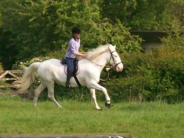 friesian mare and stallion for adoption