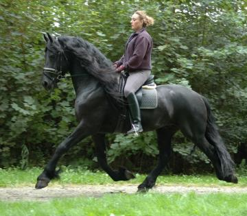 black mare friesian horse for sale