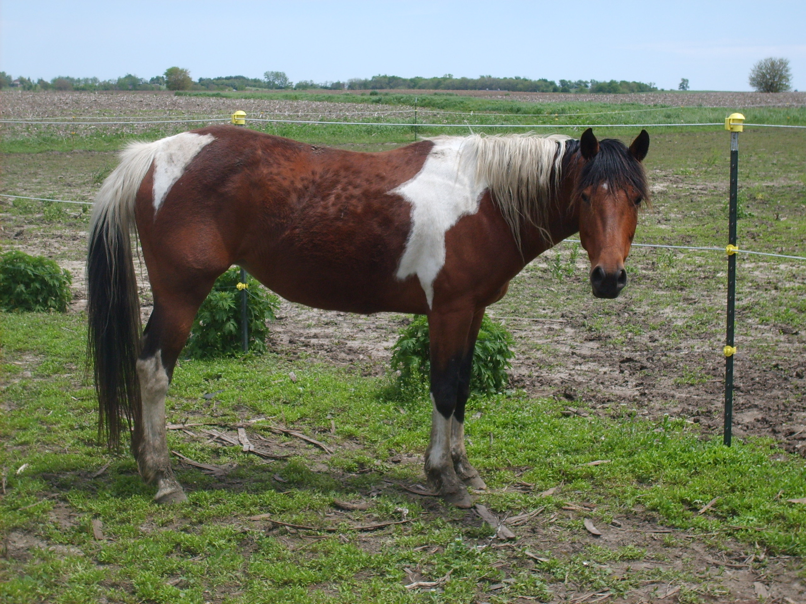 Cute Bay Tobiano Mare! Great 4-H/fun show/Trail horse!