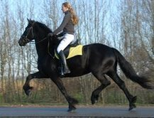 a gorgeous friesian gelding for sale