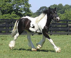 Adorable gypsy vanner for adoption