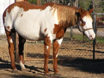 Registered Overo Paint for sale, Great roping prospect