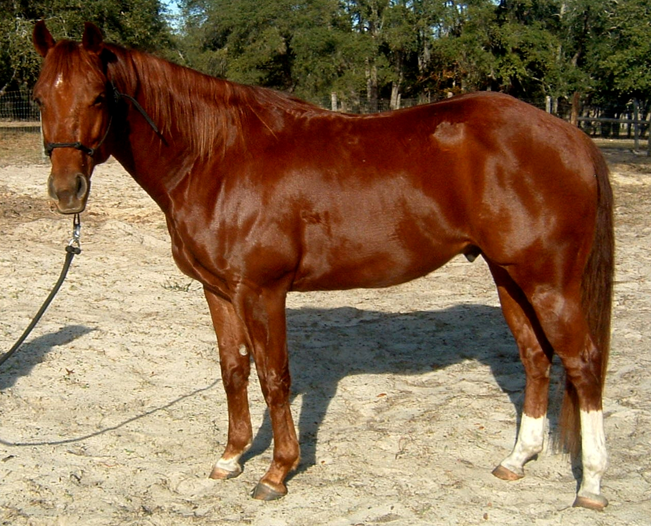Show Ring Gorgeous Solid Paint bred Gelding