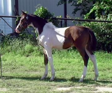 World CH bred Tri-Color Paint Arabian - see videos