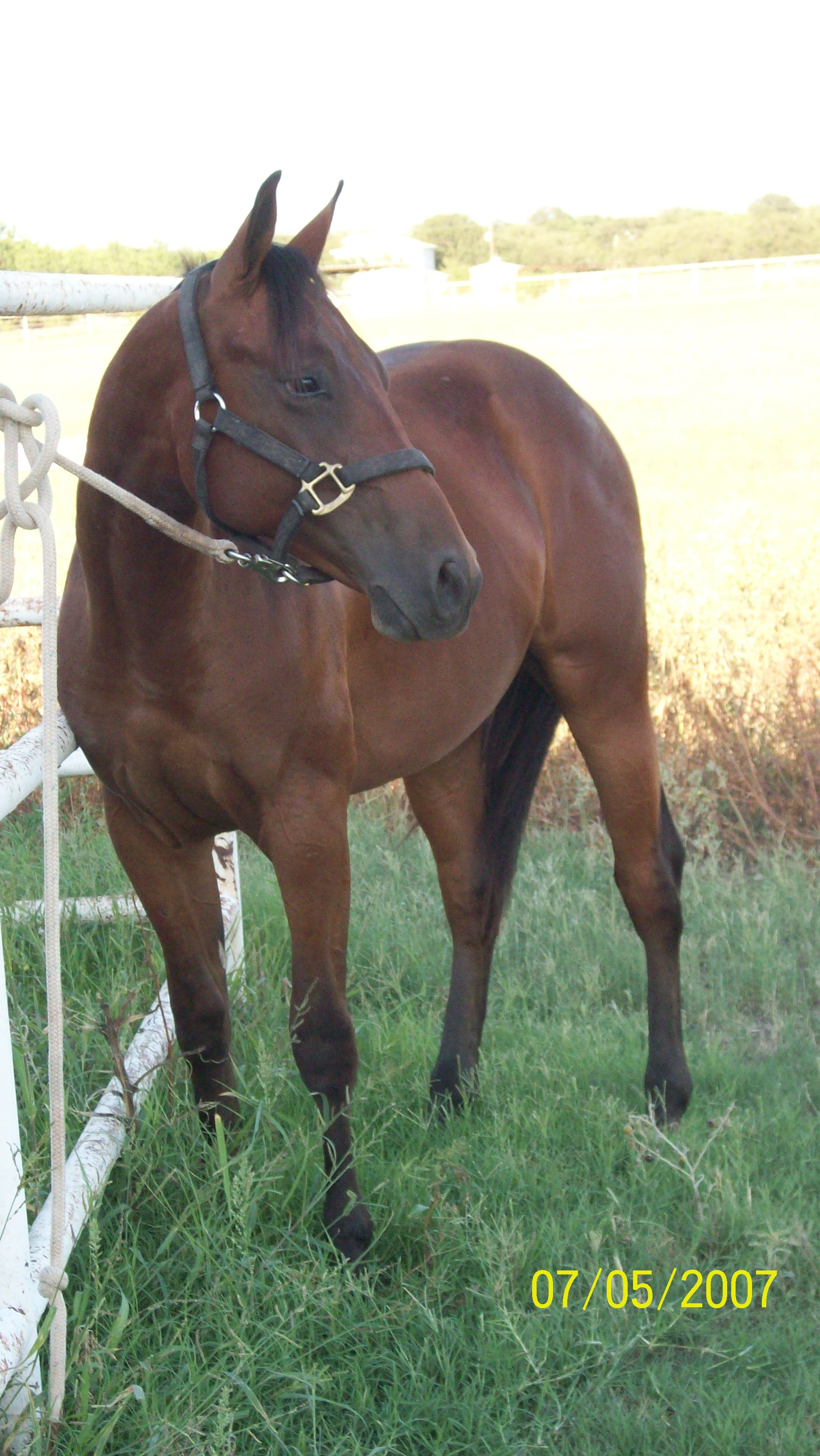 Gorgeous, intelligent stud colt, cutting bred!