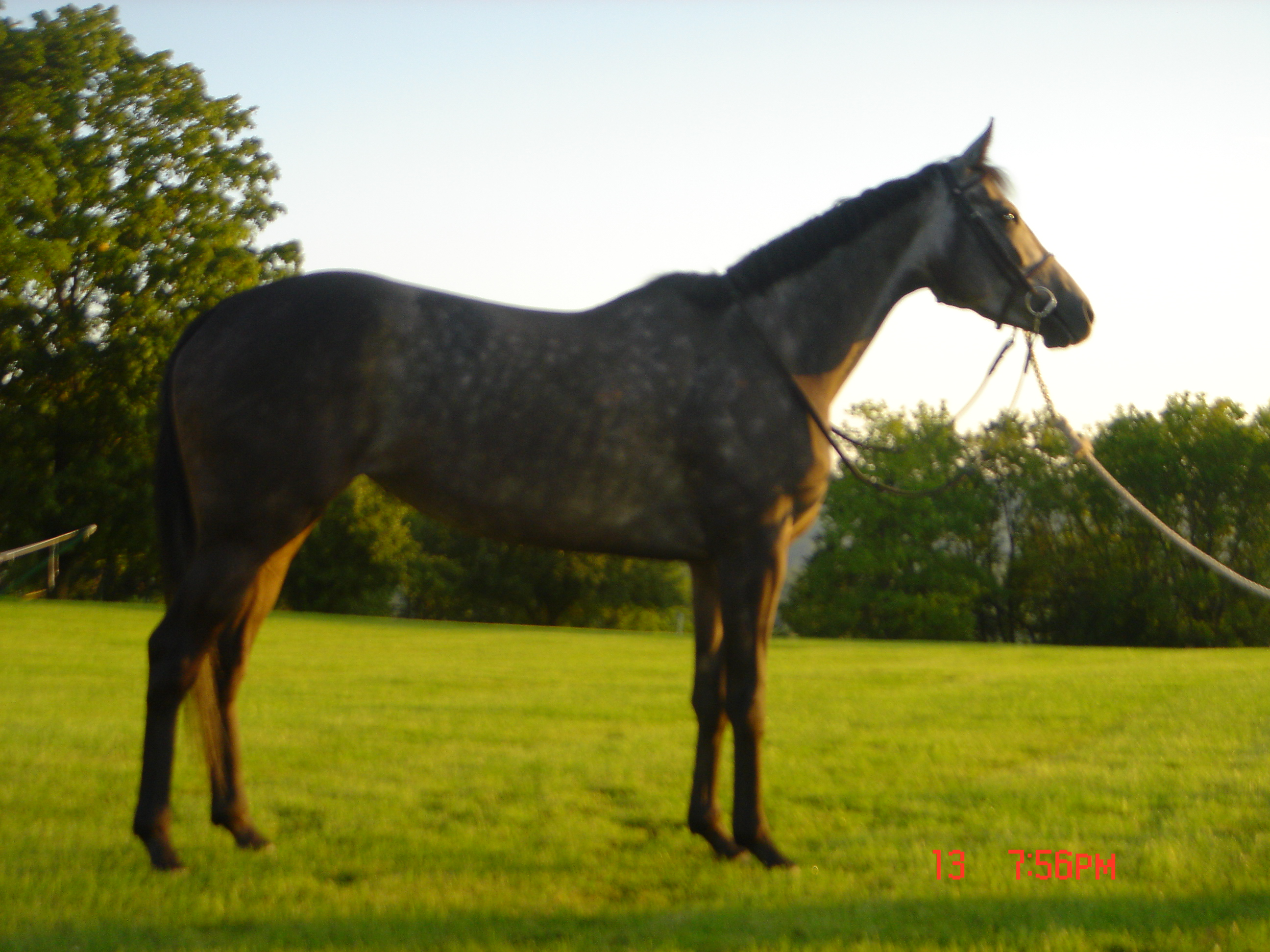 Gorgeous Grey TB Mare