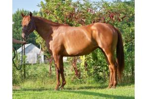 Sorrel Quarter Horse For Sale