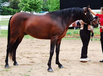 super sweet and talented half arab gelding