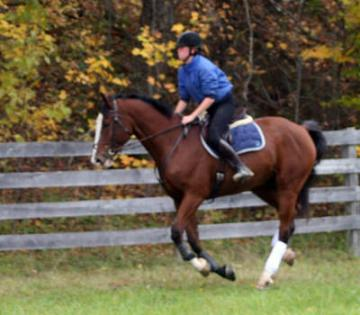 Bay Canadian Sport Horse For Sale