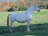 LIPIZZAN MARE FOR SALE