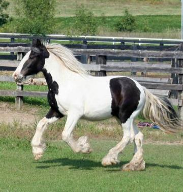 White Gypsy Stallion horse for sale $4,000