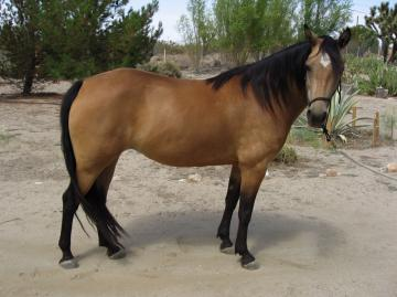 Morgan Mare for sale - BUCKSKIN!