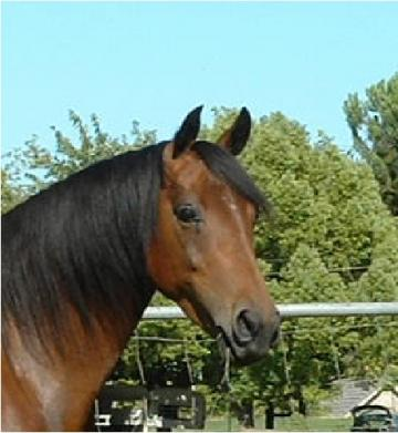 Need a trail companion? Pretty Bay Morgan Mare.
