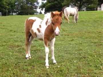 Adorable Miniature Horse Foals