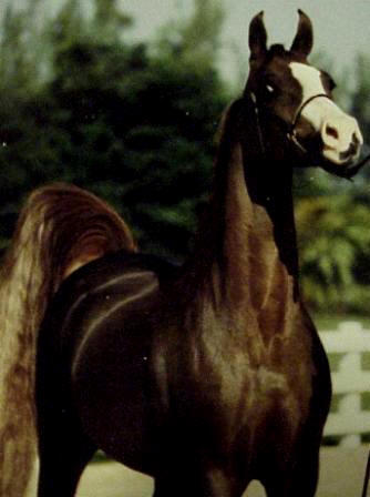 1989 national show horse has done bridleless work
