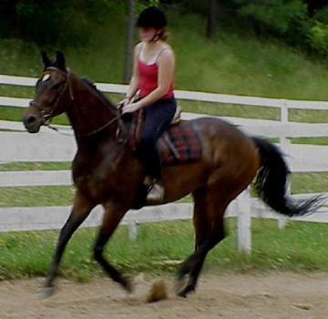 Thoroughbred gelding sweet sensible boy