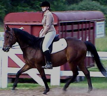 TB Trakehner cross gelding Cadillac ride for almost all