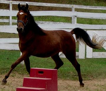 2007 Arab gelding exceptional straight egyptian bloodli