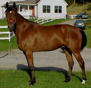 Registered Standardbred gelding so smooth under saddle