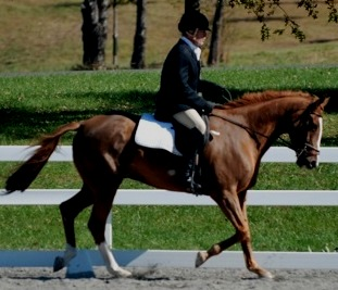 Irish warnblood gelding former eventer looking for an e