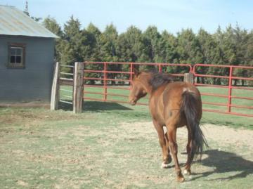 Sorrel Quarter Horse For Sale