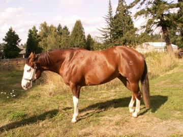 APHA/PtHA halter mare