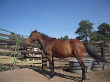 Premium Oldenburg/ American Warmblood Gelding