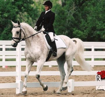 Second Level Dressage Gelding